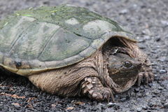 Snapping Turtle  Chelydra serpentina Stock Photo