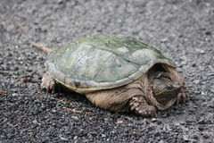Snapping Turtle  Chelydra serpentina. Snapping turtle Chelydra serpentina at the side a country roadway. They are found throughout most of the southern part of Royalty Free Stock Photography