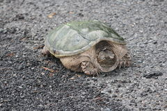 Snapping Turtle  Chelydra serpentina. Snapping turtle Chelydra serpentina at the side a country roadway. They are found throughout most of the southern part of Stock Photography