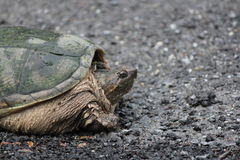 Snapping Turtle  Chelydra serpentina. Snapping turtle Chelydra serpentina at the side a country roadway. They are found throughout most of the southern part of Stock Photos
