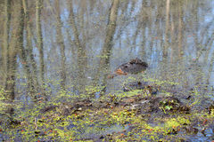 Snapping Turtle (Chelydra serpentina). Sits in a wetland of Illinois Royalty Free Stock Photography