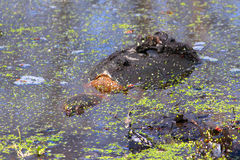 Snapping Turtle (Chelydra serpentina) Royalty Free Stock Photos