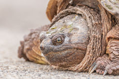 Snapping Turtle. A close up head shot of a snapping turtle on the pavement Royalty Free Stock Images