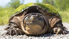 Snapping turtle close-up portrait royalty free stock photos