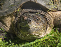 Snapping Turtle Closeup Royalty Free Stock Photo