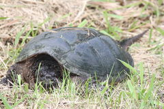 Snapping turtle, Common -Chelydra serpentina Stock Photography
