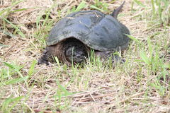 Snapping turtle, Common -Chelydra serpentina. The Snapping Turtle is the largest freshwater turtle found in Canada. Found in the dry grass near a swampy area Stock Photo