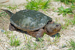Snapping Turtle. Common Snapping Turtle crawling in the sand Stock Photo