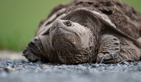 Snapping Turtle crawling. On the ground stock photography