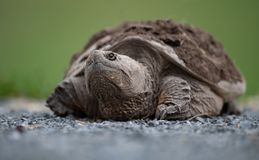 Snapping Turtle crawling. On the ground stock image