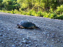 Snapping Turtle crossing gravel road after laying eggs Stock Photos