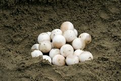 Snapping Turtle Eggs (Chelydra serpentina). A clutch of common snapping turtle eggs in a sand pile Royalty Free Stock Photography