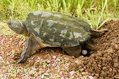 Snapping turtle eggs. Snapping turtle laying eggs in a dug out nest Royalty Free Stock Images