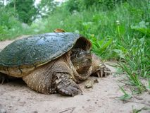 Snapping Turtle Enjoys A Summer Day. A Snapping Turtle Blocks The Trail As It Enjoys A Beautiful Summer Day royalty free stock photography