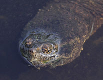 Snapping Turtle Face royalty free stock photo
