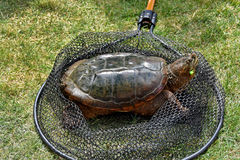 Snapping turtle in fishing net Stock Photos
