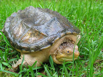 Snapping Turtle in Grass. Young snapping turtle in long grass Royalty Free Stock Image