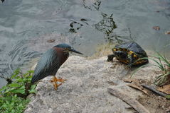 Snapping turtle and green heron. A turtle and a heron sharing the shore of a pond royalty free stock photography