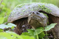 Snapping turtle. With green leaves Stock Photography