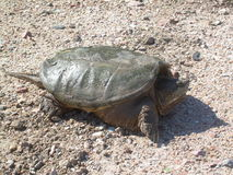 Snapping Turtle. Green snapping turtle in rocks Royalty Free Stock Photography