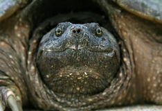 Snapping Turtle Head Royalty Free Stock Photography