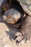 Snapping Turtle Royalty Free Stock Photos