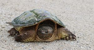 Snapping Turtle isolated on gravel path royalty free stock photography