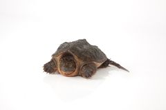 Snapping Turtle. A snapping turtle isolated on a white background Stock Photos