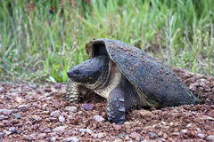 Snapping turtle laying eggs. In a sand and gravel nest Royalty Free Stock Photos