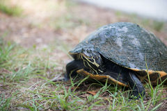 Snapping turtle laying its eggs Royalty Free Stock Image