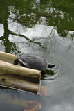 Snapping turtle on log. One snapping turtle on its way to leave a log where it has sunbathed, to join its friends in the pond on jamaica in caribbean royalty free stock image
