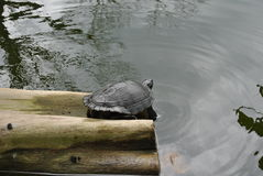 Snapping turtle on a log. One snapping turtle on a log in a pond stock images