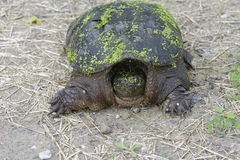 Snapping turtle. Looking for nesting site Stock Image