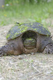 Snapping turtle. Looking for nesting site Royalty Free Stock Photos