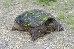 Snapping turtle Stock Images