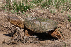 Snapping turtle in mud Royalty Free Stock Photo