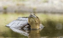 Snapping Turtle in muddy water, Georgia USA. Large Common Snapping Turtle, Chelydra serpentina, in muddy swamp water puddle. May in Walton County, GA Stock Photo