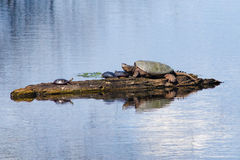Snapping turtle and painted turtles Stock Photography