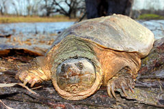 Snapping Turtle Portrait. Basking Snapping Turtle (Chelydra serpentina) on a warm spring day near Rockford, Illinois stock photo