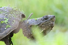 Snapping turtle portrait Royalty Free Stock Photo