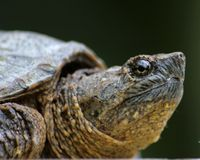 Snapping Turtle Profile Royalty Free Stock Photos