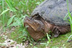 Snapping Turtle Raises its Head. A snapping turtle raises its head as it barrels over blades of grass in a swampy marsh royalty free stock image