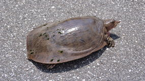 Snapping Turtle On A Road Stock Photography