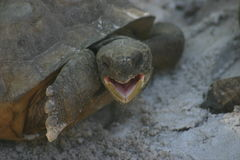 Gopher turtle Royalty Free Stock Photos