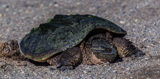 Snapping Turtle ... soup. Stock Image