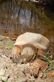 Snapping turtle sunbathing Royalty Free Stock Image