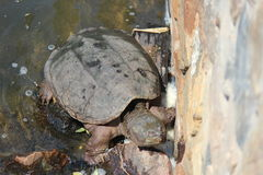 Snapping Turtle. In the sunlight against rock wall Royalty Free Stock Images