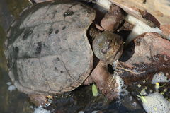 Snapping Turtle. In the sunlight against rock wall Royalty Free Stock Photography