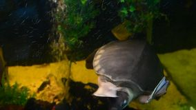 Snapping turtle swim in aquarium. Tank stock video footage