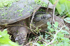 Snapping turtle and twigs. Snapping turtle on the ground Royalty Free Stock Photos